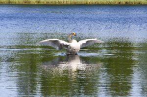 Kuvassa joutsen joka lähtee lentoon järvestä.