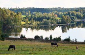 Kuvassa järven läheisyydessä olevalla pellolla hevoset syövät ruohoa.