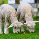 Kuvituskuva. Lampaat syömässä ruohoa.